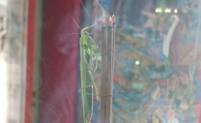 奇景!東石鄉慶福宮出現螳螂聞香