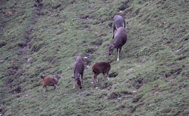玉山塔塔加 33年來首見7鹿群體覓食