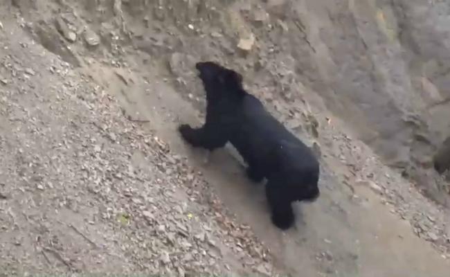 台灣黑熊涉水爬坡 扭腰擺臀好萌