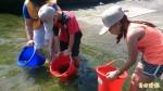 綠島放流銀紋笛鯛