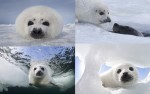 小海豹第一次「下海」 萌照曝光