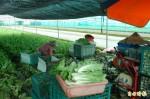 鳯凰颱風來襲!菜價應聲上揚