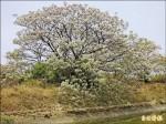 台江人最愛苦楝樹 拓河道遭砍除