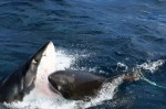 同類相殘!大白鯊海中對幹 血花四濺