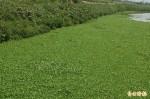 有才寮大排被覆蓋成「綠川」 養殖業者憂心
