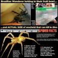 世界最毒!英國超商香蕉驚現毒蜘蛛