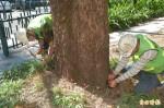 縣府搶救蘭陽女中前的枯萎茄苳樹群