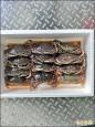 黃金蟹正鮮 兩公斤500元