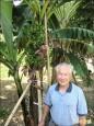 奇!1株香蕉樹結4芎
