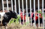 彰化乳牛節週末登場