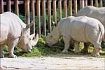 又1死 北非白犀牛全球剩6隻
