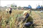 大蒜產銷失衡 被取消地方特色作物