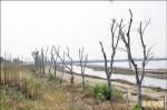 白千層成枯木 椬梧滯洪南池失色