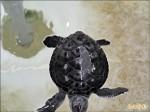 澎湖綠蠵龜產卵 出現空包彈