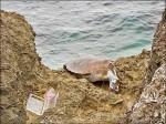 漁網纏頸 綠蠵幼龜慘死小琉球