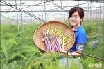 農業結合科技 蘆筍曬LED「日光浴」增產