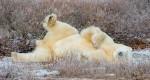 萌翻了!北極熊的「偽」自拍照 超級口愛