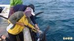 馬公鎖港定置網再傳鯨鯊誤闖 今年第三尾標識放流