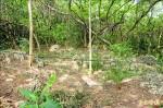 砍清水巖原生植物 清水寺:代整環境