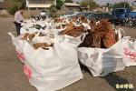 警方逮山老鼠 起出5噸牛樟及台灣檜木