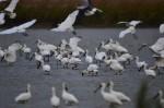 黑面琵鷺提早報到 賞鳥群眾湧入茄萣濕地