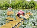 冬季產量過剩 高麗菜價腰斬