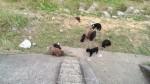龍潭河堤驚見39隻貴賓狗遭棄養 全身髒兮兮