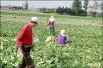 菜賤棄收!小白菜每公斤2元 「要吃自己摘」