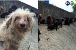 多隻名犬遭棄養 毛糾結像髒抹布