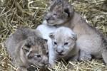 美3胞胎幼獅亮相 罕見小白獅成焦點