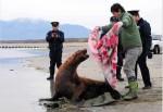 驚!海獅逛大街 北海道居民合力送回家