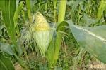 《郭台銘毒玉米說》甜玉米價跌 農民叫苦連天
