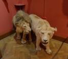 威廉籲動物保育 英王室卻被爆「獎盃房」秀獵物