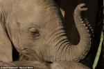 心碎!肯亞母象遭獵殺 小象目睹「眼眶泛淚」