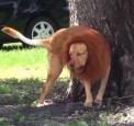 獅子出現公園 民眾嚇得竄逃 結果是...