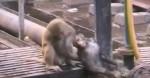 印度猴子誤闖鐵軌觸電昏迷 同伴成功救回牠