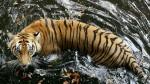 緬甸向中國出口老虎產品 貿易量持續攀升