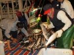 烏金報到 「聯春滿號」在左營外海捕獲2萬尾烏魚