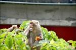 猴害農作 學者籲架電網、禁餵食