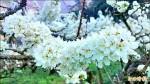 阿里山區櫻花漸開 奮起湖數量多