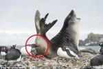 闖入企鵝地盤 海豹慘遭偷襲屁股