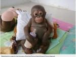 小猩猩遭關近一年 堅強待救眼眶泛淚