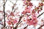 武陵農場紅粉佳人含苞 新社山櫻花綻放