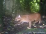 超罕見貓咪! 非洲金貓捕猴畫面曝光