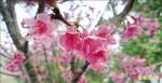 梅嶺山櫻盛開 綻放到春節
