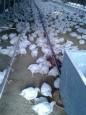 白肉雞價格飆漲 公平會今查大成、卜蜂