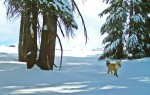 絕種百年內華達紅狐 再現優勝美地