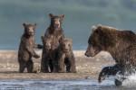 看到媽媽捕魚超帥氣 4隻小熊一秒驚呆!