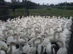 鵝隻屠宰場染禽? 桃園市先淨空消毒