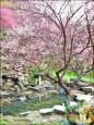 《三峽新秘境》 建安131櫻花園開放